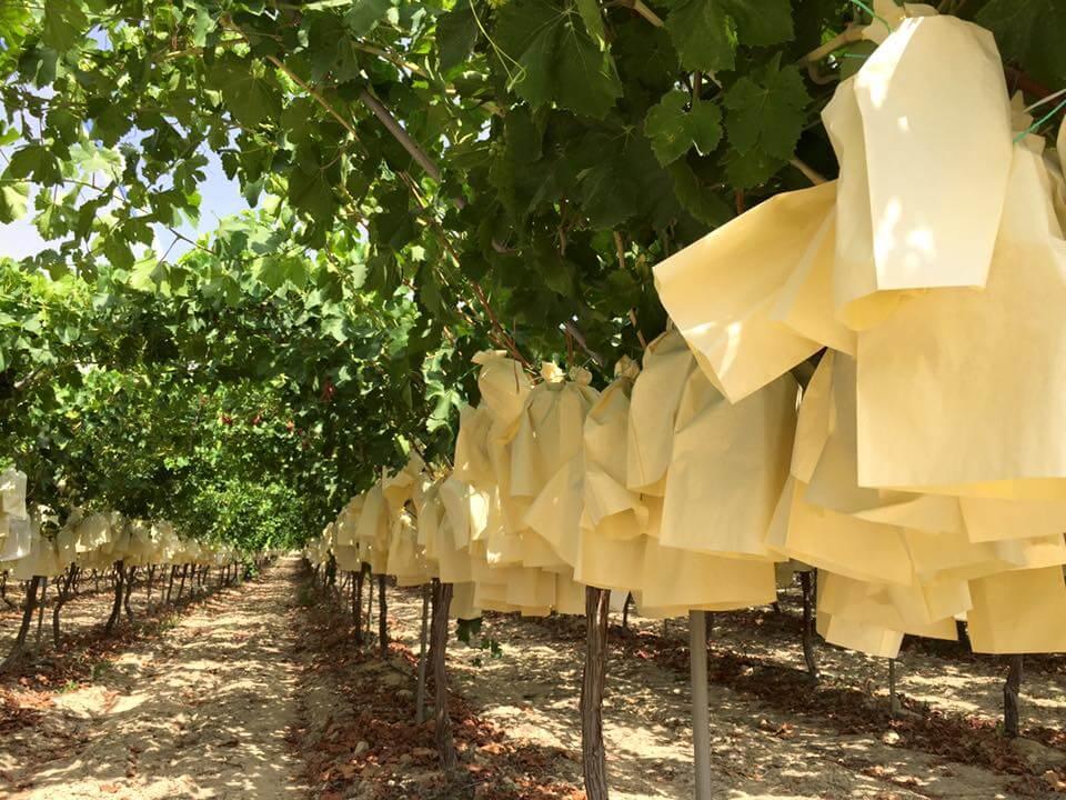 2 julio, uvas doce, monfortedelcid, costablanca, comunidadvalenciana